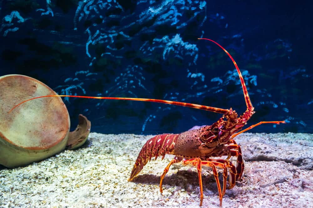 red color lobster communicate with other lobster