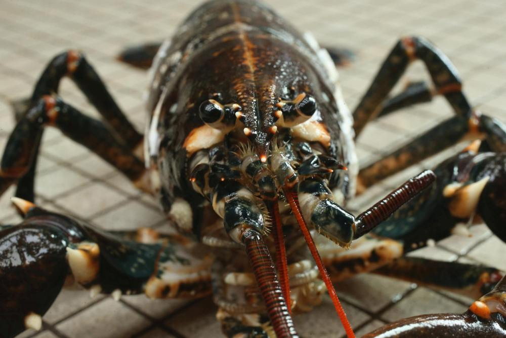 how do lobsters communicate with each other